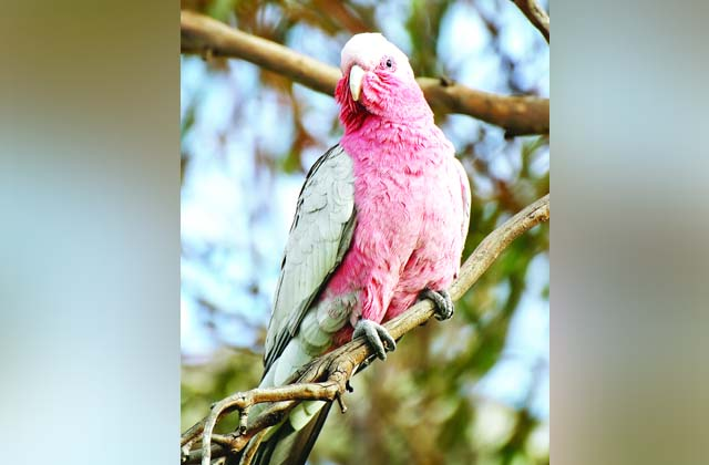 PunjabKesari, Foreign birds will become 'pride' of Punjab