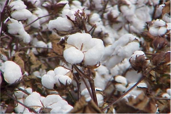 PunjabKesari, Bumper production of cotton will be again after 7 years in India