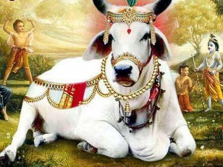 PunjabKesari cow