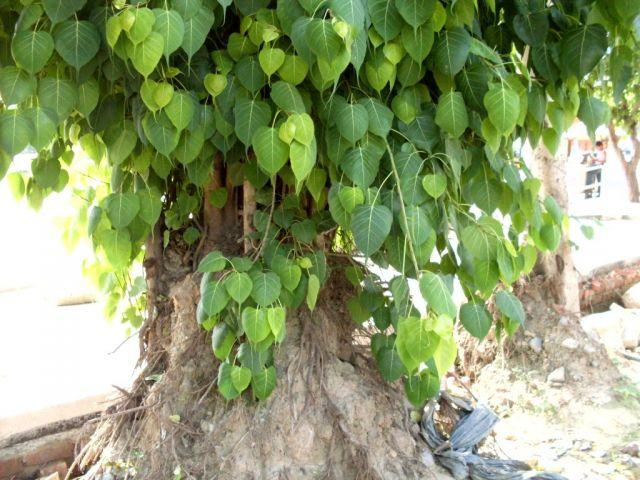 PunjabKesari, Peepal Images, पीपल, पीपल का पेड़