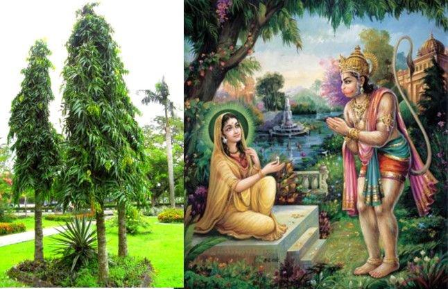 PunjabKesari Importance of Ashok tree