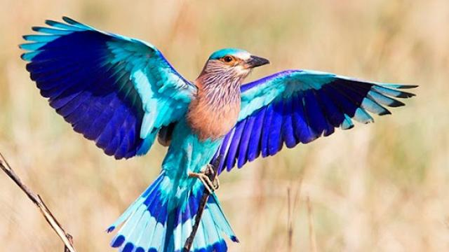 PunjabKesari, नीलकंठ पक्षी