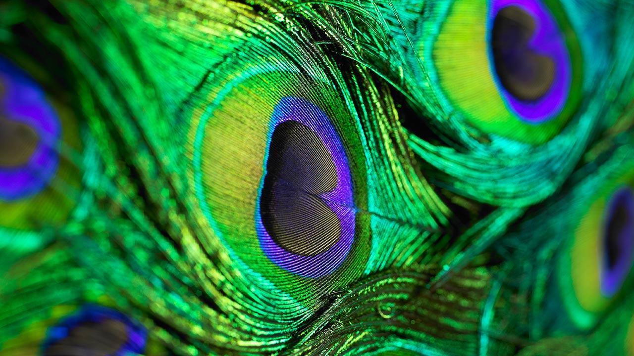 PunjabKesari,nari,peacock feather
