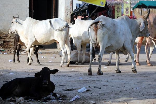 PunjabKesari, fear of stray animals in metropolis
