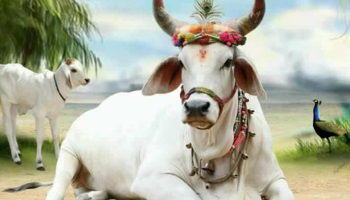 PunjabKesari, Cow, Cow Image, गाय
