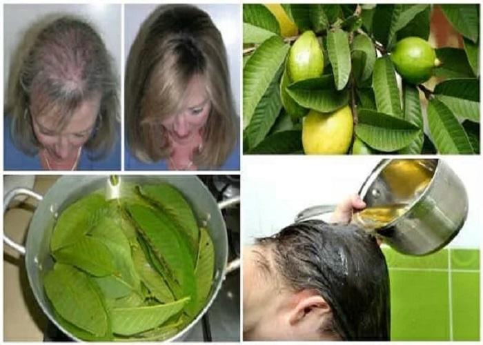 PunjabKesari, Guava Leaves Tea, Guava Leaves, hair Fall, Dandruff, Nari.punjabkesari