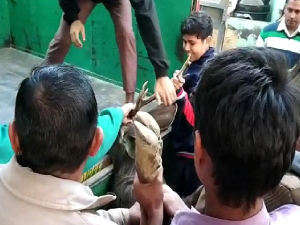 PunjabKesari,Reindeer