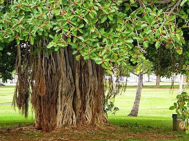 PunjabKesari, बरगद का पेड़, banyan tree