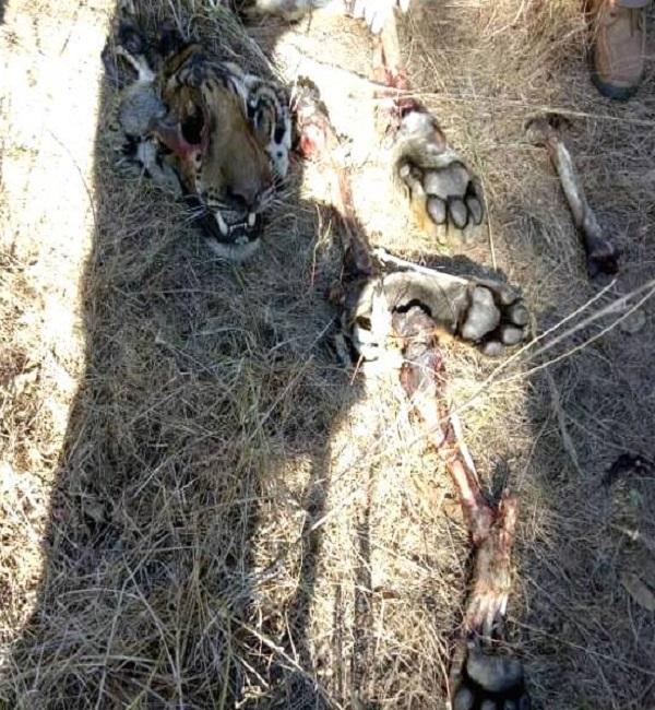 PunjabKesari,Madhya Pardesh Hindi News, Mandla Hindi News,Mandla Hindi Samachar, Kanha Kisli Tiger Reserv, Tiger, Died, Mutual fighting
