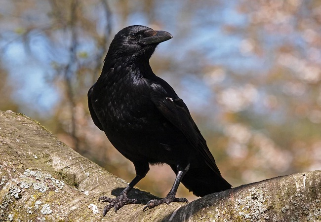 PunjabKesari, Jyotish Upay related to Crow, Crow Image, कौआ