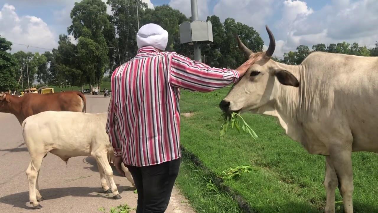 PunjabKesari, गाय, Cow