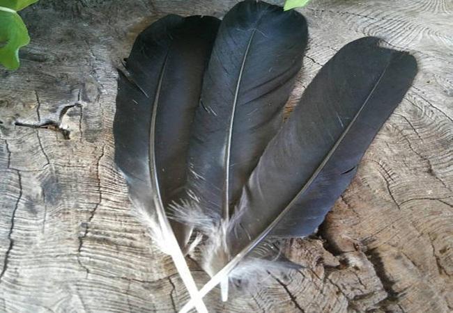 PunjabKesari, Jyotish Upay related to Crow, Crow Image, कौआ, कौए का पंख, Crow Feather