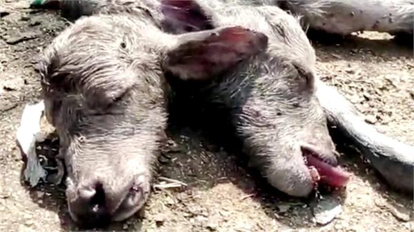 up buffalo gave birth to 2 year old calf watcher