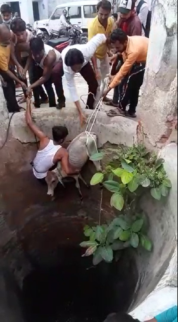 Hindu-Muslims saved the life of a calf, hindu, muslims, chhatarpur, Madhya Pradesh, punjab kesari