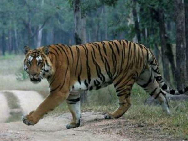 PunjabKesari, madhya pradesh news, Tiger census, Tiger Zinda Hai, Tiger State, number one in the country, most tiger, PM Modi