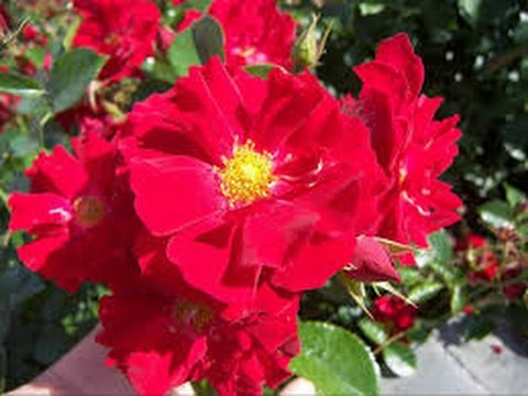 PunjabKesari, Red Flower, लाल रंग
