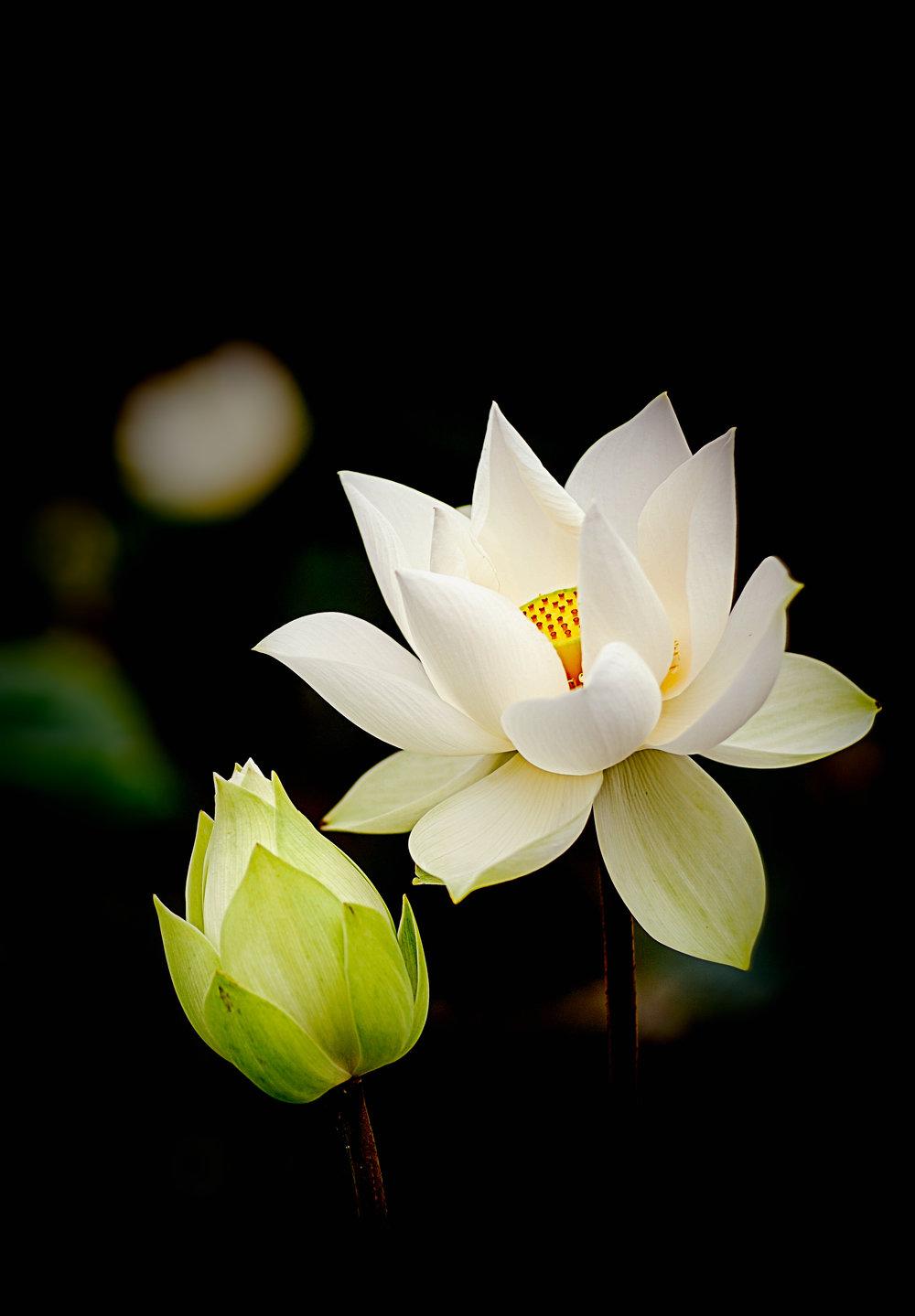 PunjabKesari, Lotus, कमल, White Lotus Image