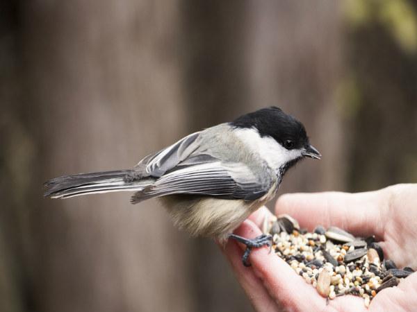 PunjabKesari, चिड़ियां को दाना डालना