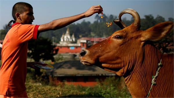 gopashtami celebrated with reverence people worshiped cow