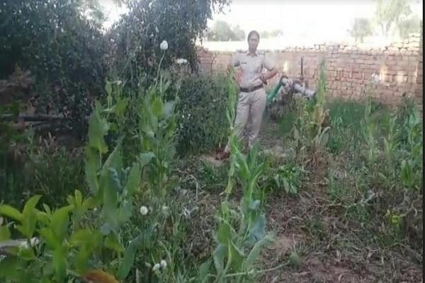 PunjabKesari, Plants, indigenous poppy husk, police, Crime