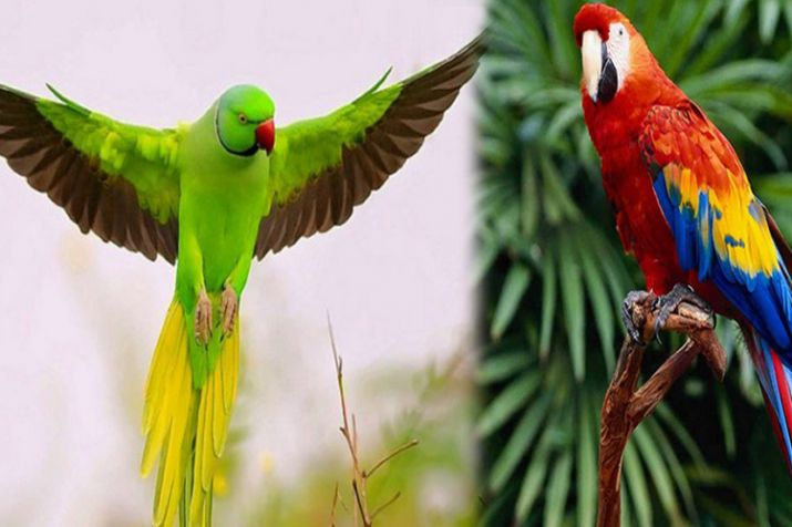 PunjabKesari, Parrot, Parrot in home, Parrot Vastu, तोता, वास्तु शास्त्र तोता
