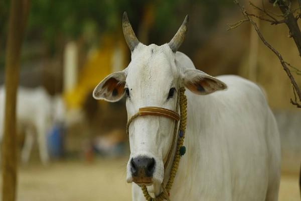 in varanasi 17 632 animals received vaccine to prevent strangulation