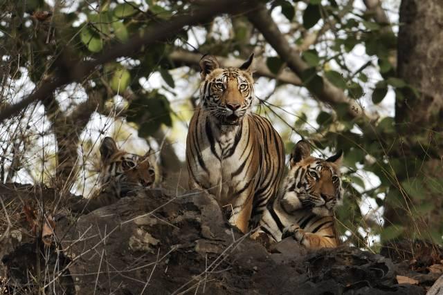PunjabKesari, Tiger Image, , Royal Families Dark Secrets Image