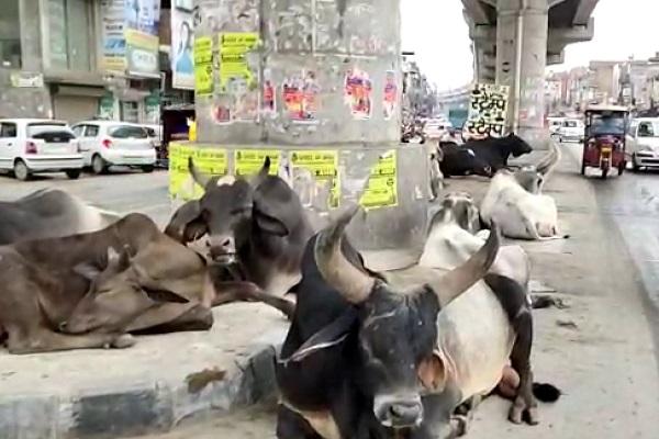 PunjabKesari, Cattle, Free, Cow, Street, Bjp, Congress