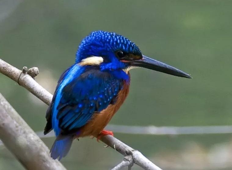 PunjabKesari,Little bittern bird