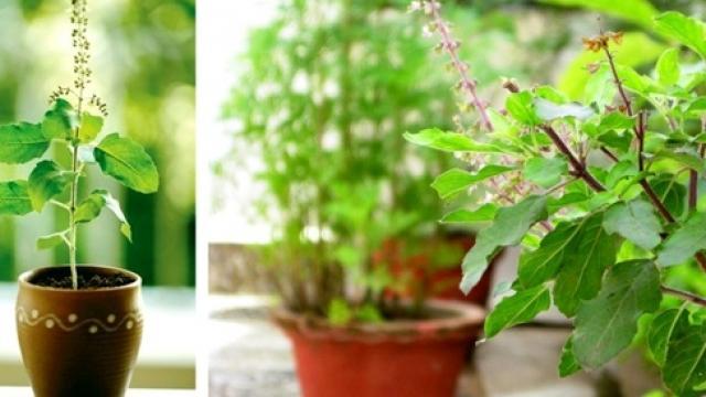 PunjabKesari, tulsi plant, tulsi, तुलसी का पौधा