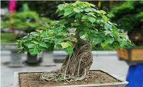 PunjabKesari, पीपल, Peepal, पीपल का पेड़, Peepal tree, Interesting Facts Related to Peepal Tree, Vastu Peepal Connection, Basic vastu tips, Vastu Shastra, Vastu Tips In hindi, Vastu facts related to peepal