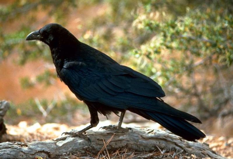 PunjabKesari, Crow, कौआ, कौए