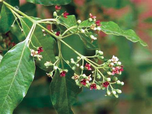 PunjabKesari, Sandalwood Plant Image, Zodiac Sign Plant Image