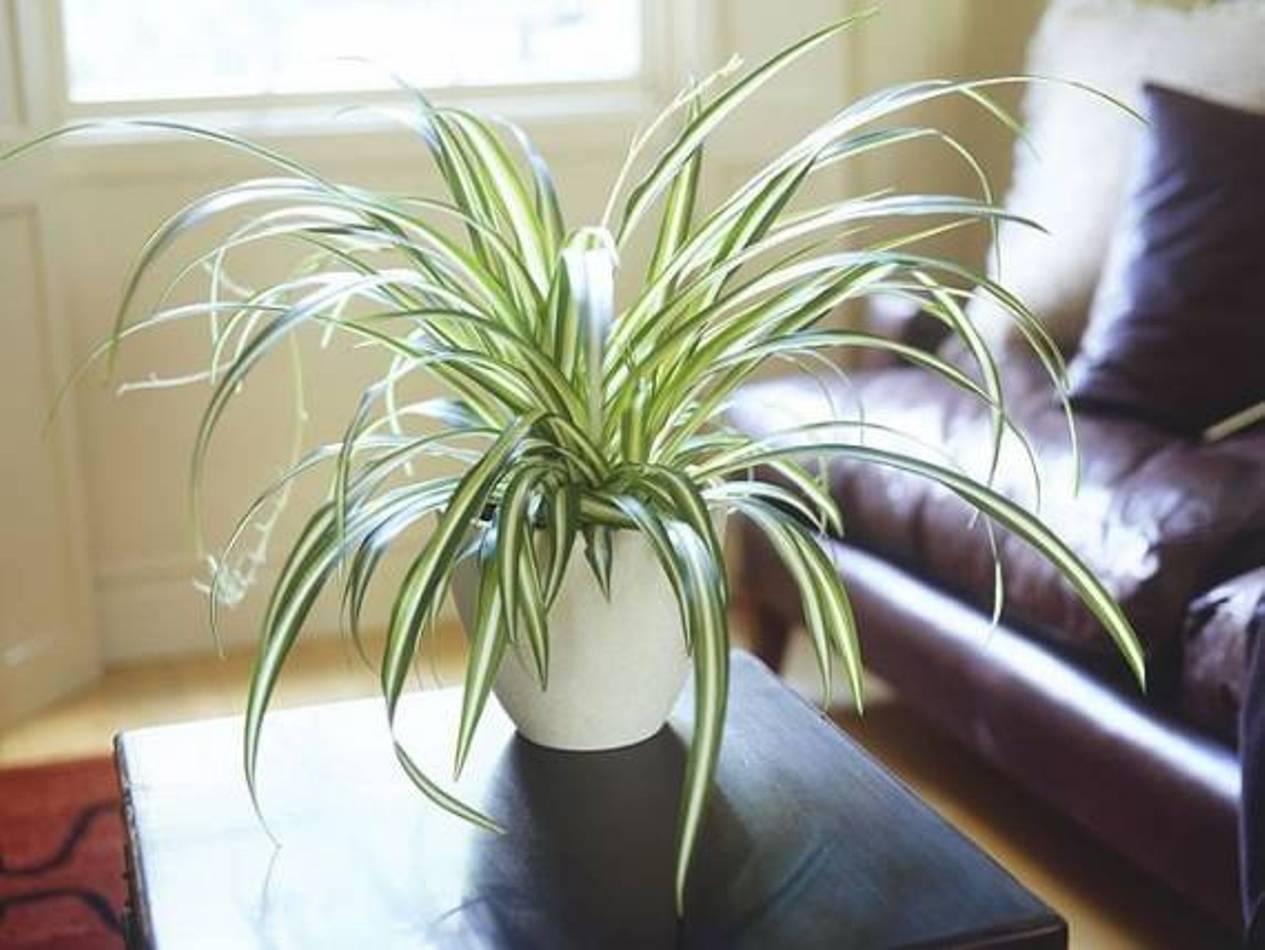 PunjabKesari, spider plant image, Zodiac sign plant Image