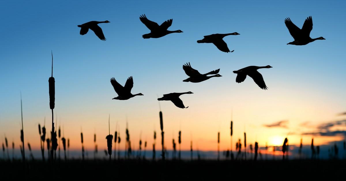PunjabKesari, birds in the sky, आकाश में उड़ते पक्षी