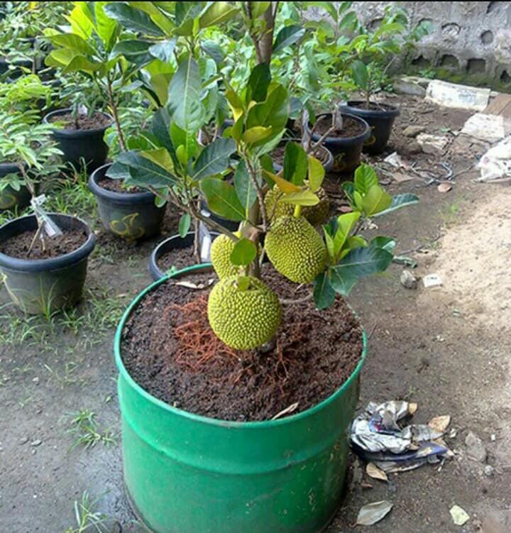 PunjabKesari, jackfruit plant Image, Zodiac Sign Plant Image