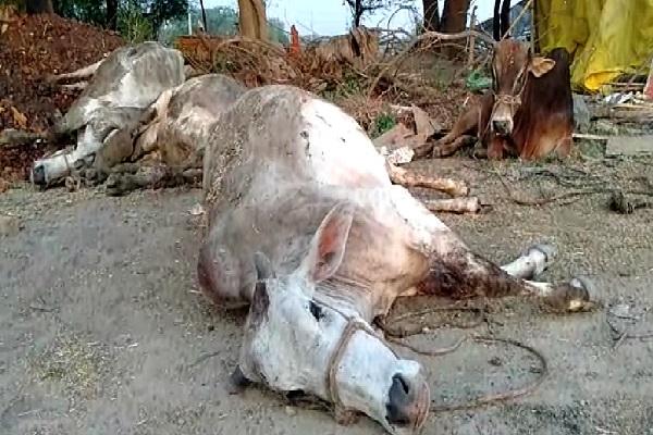 PunjabKesari, haryana hindi news, ballabgarh hindi news, faridabad hindi news, cow smuggling, Cow Defense Services Vehicle Trust