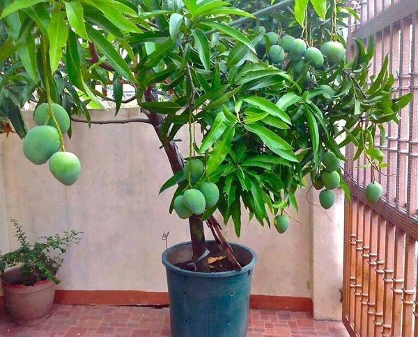 PunjabKesari, Mango Plant Image, Zodiac Sign Image