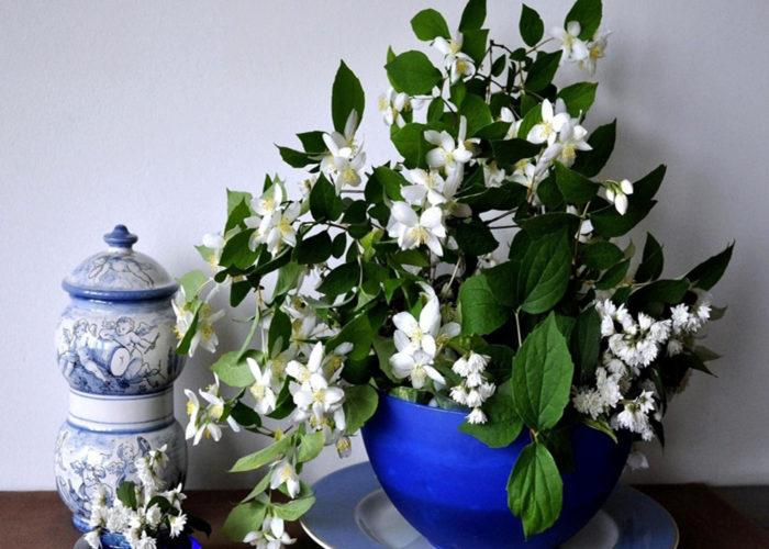 PunjabKesari, Nari, Jasmine Plant In bedroom Image, Jasmine plant Image