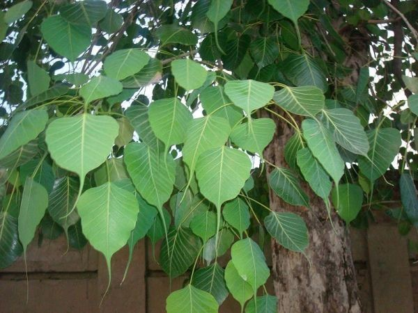 PunjabKesari, Peepal Tree Image, Zodiac Sign Plant Image