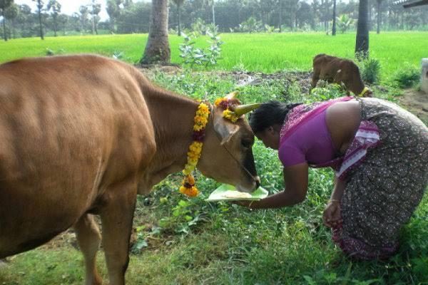 PunjabKesari, गाय,Cow