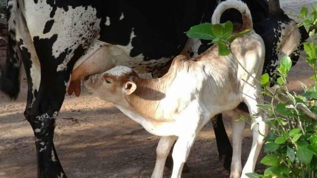PunjabKesari, kundli tv, cow image