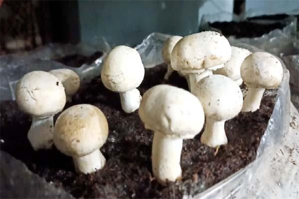 PunjabKesari, Mushroom Farming Image