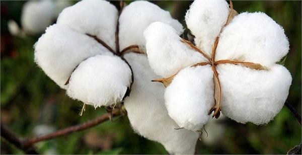 cotton production in the country will be 340 25 lakh bales in 2018 19 cai