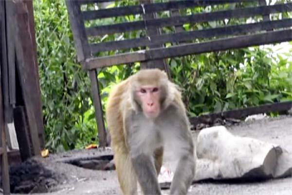 PunjabKesari, Monkey Image