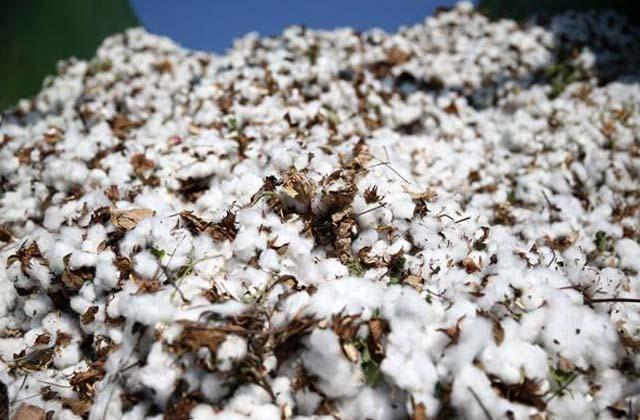 PunjabKesari, cia raises cotton production estimate to 358 50 lakhs