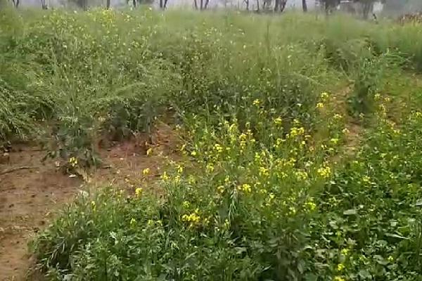PunjabKesari, Weather, Mood, Crop, Farmer, Demage