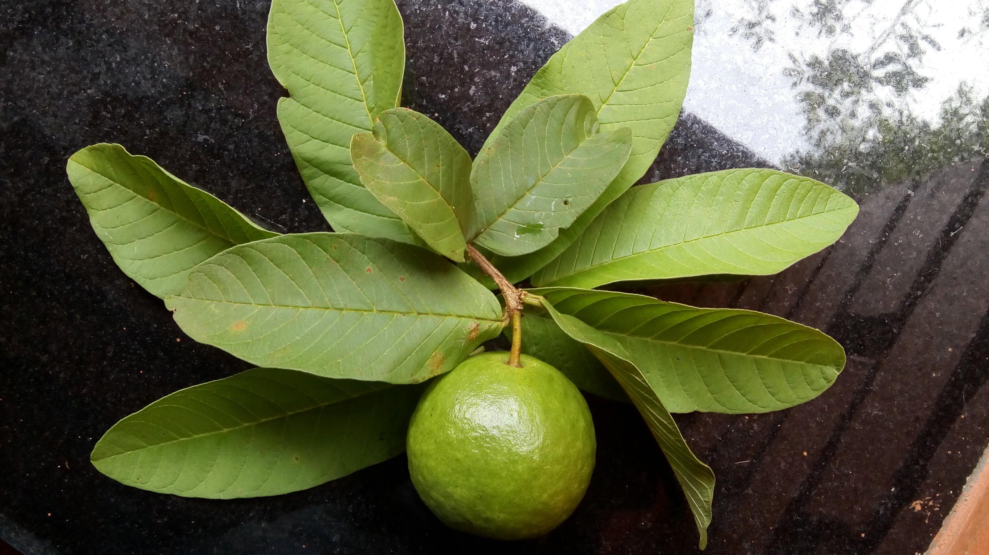PunjabKesari, Guava leaf