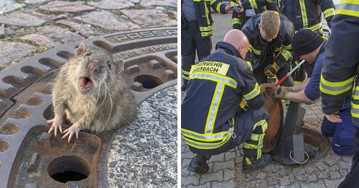 fat rat saved from manhole by german animal rescue
