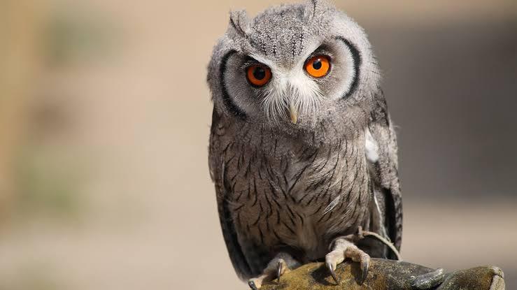 PunjabKesari, Owl, उल्लू